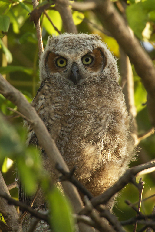 COTI: You Can Help Save This Great Horned Owl Family
