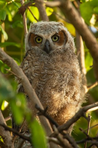 Great horned owl juvenile. Photo by Sanibel resident Sara Lopez