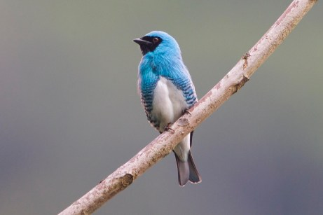 Swallow Tangager
