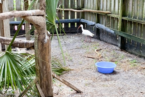 white ibis hit by golf ball