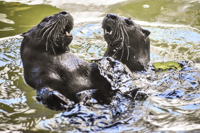 CROW Seeking Volunteers to Catch Fish for Hungry Otters
