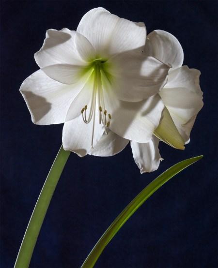 Cultivar branco de Hippeastrum intokazi. Imagem do dia para 14 de fevereiro de 2019. Foto de Uoaei1   Wikimedia Commons.