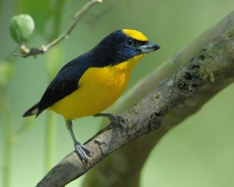 Thick-billed Euphonia-male
