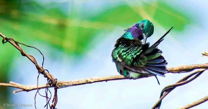 svbc-marvinblanco-greenvioletear-jpg