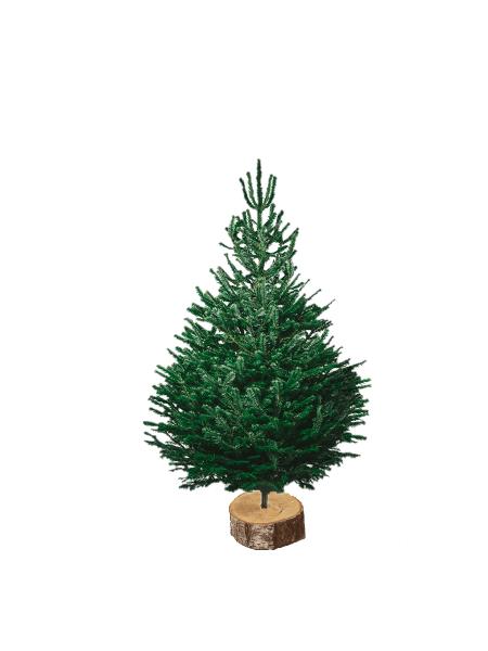 nordmann 125-150 V2 sapin bio de Noël