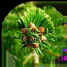 Les bourgons des sapins bio du morvan
