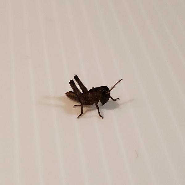 トノサマバッタ 2齢幼虫