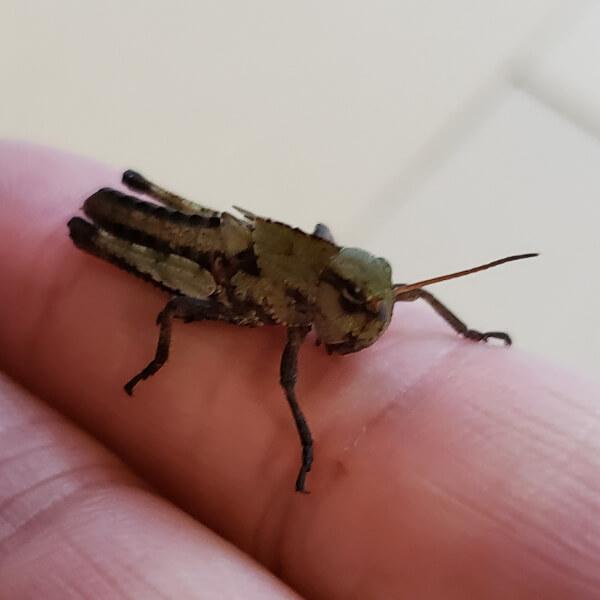 トノサマバッタ 4齢幼虫