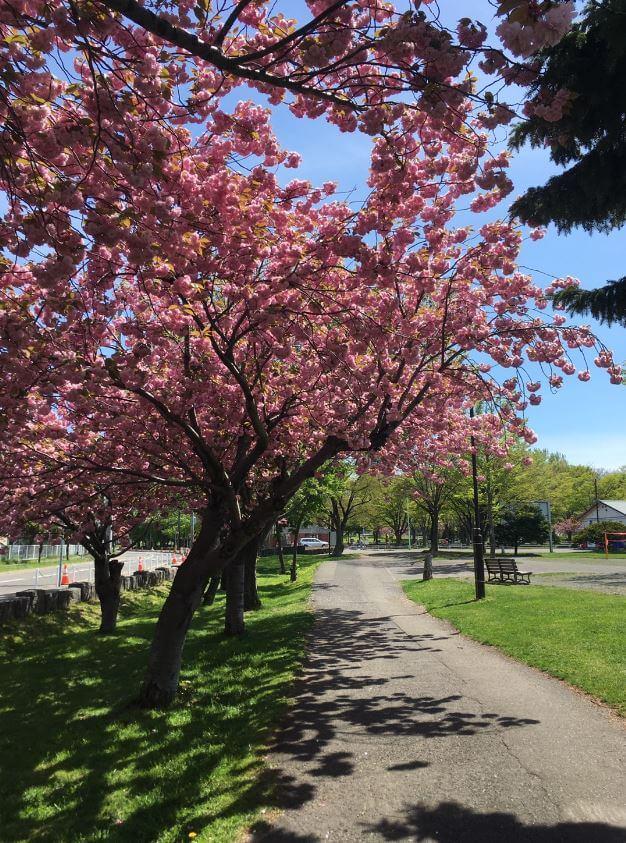 農試公園桜並木