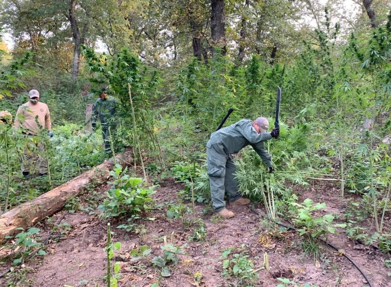 State drug agents invade illegal marijuana operation in Creek County, find 1,000 plants on several acres