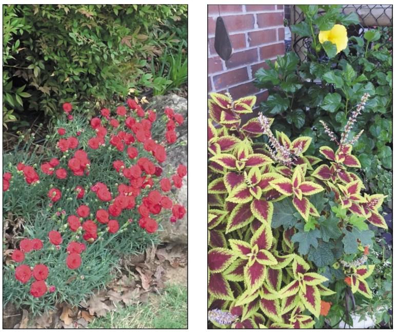 Creek County Master Gardener: Perennials vs Annuals