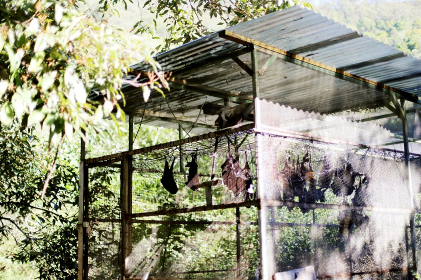 flying foxes & gosa med en pademelon