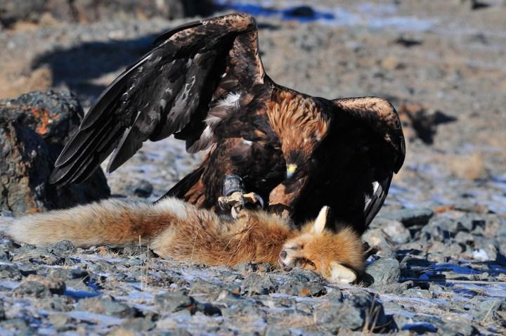 Adler auf Fuchs