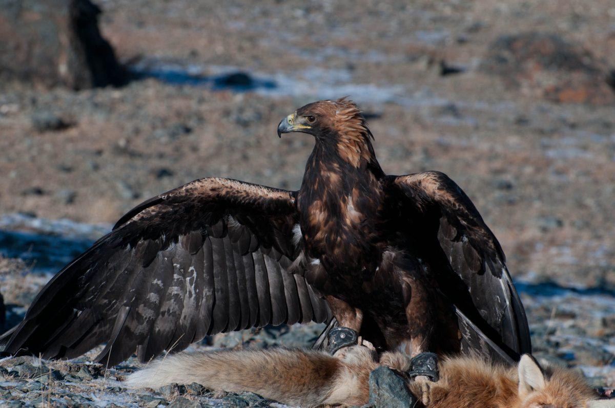 Adler erbeutet Fuchs