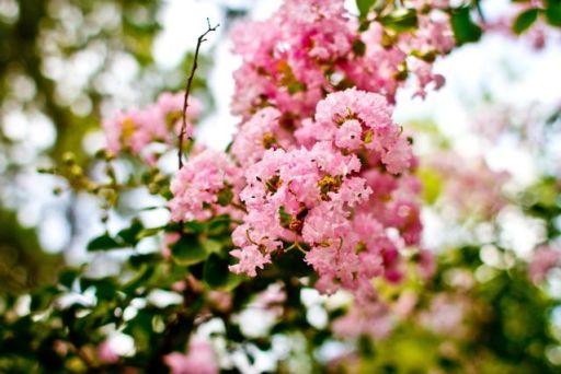 Spring Cherish