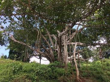 Under the Banyan tree.