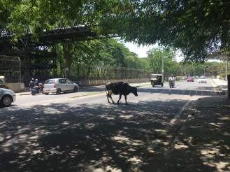 A street-crossing cow is never far away in India.