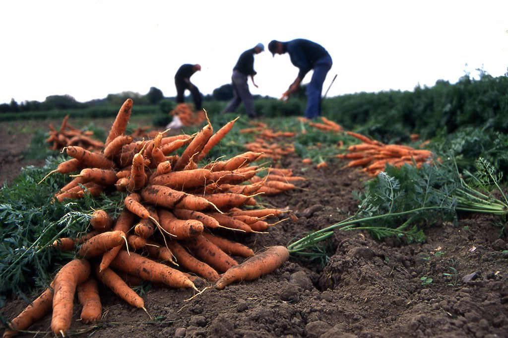 Migrant workers lifting carrots on an organic farm in Hampshire