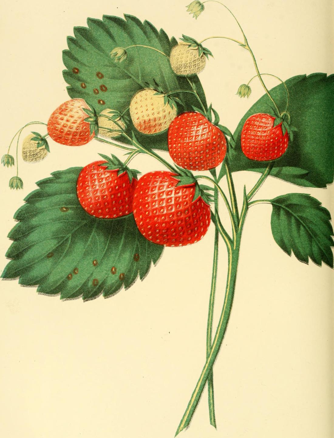 Boston Pine strawberry