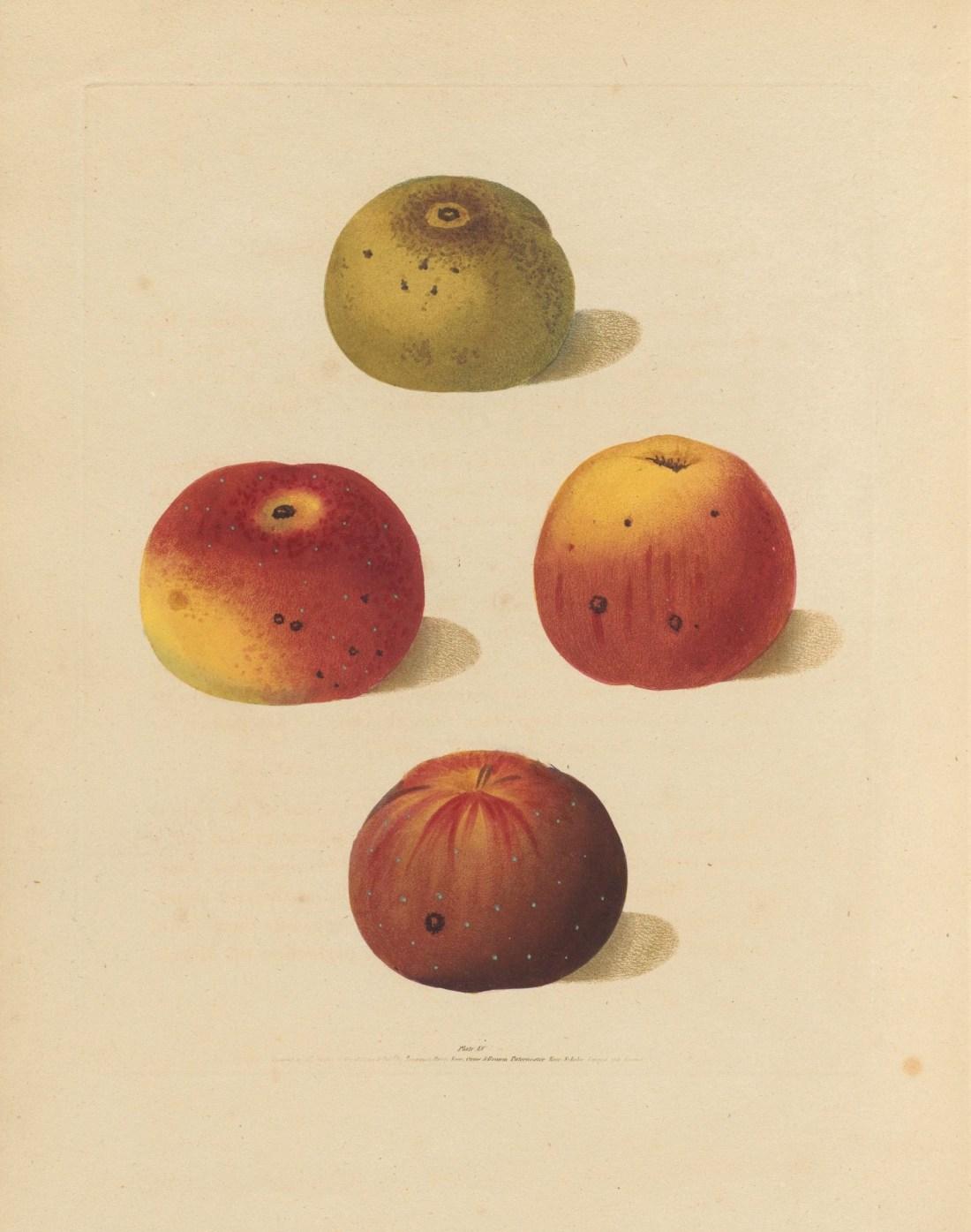 """Four varieties of excellent apples."""