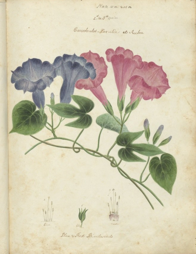 """Convolvulus purulia et rubra, blue and red bindweeds."" Plate XV."