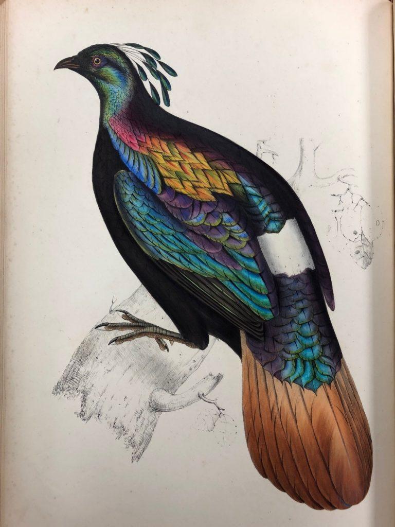 """Lophophorus impeyanus."" 1831."