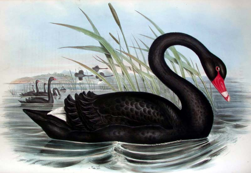 """Black Swan."" Volume 7 (n1-a.7). Plate VI."