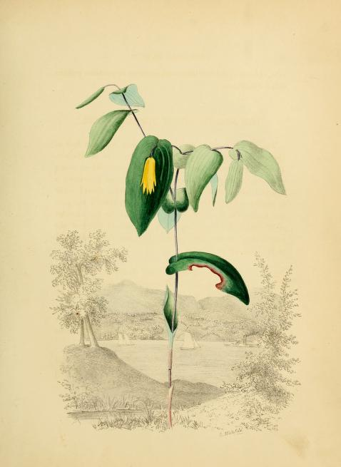 Bellwort. Page 60.