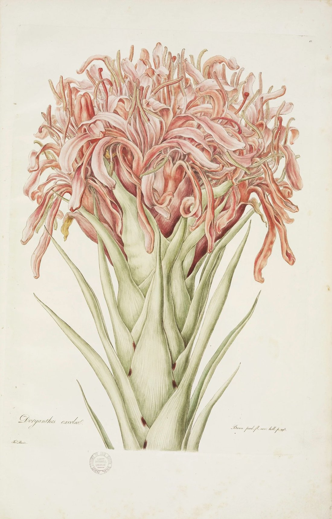 """""""Doryanthes excelsa."""" 1806-1813. Plate 13."""