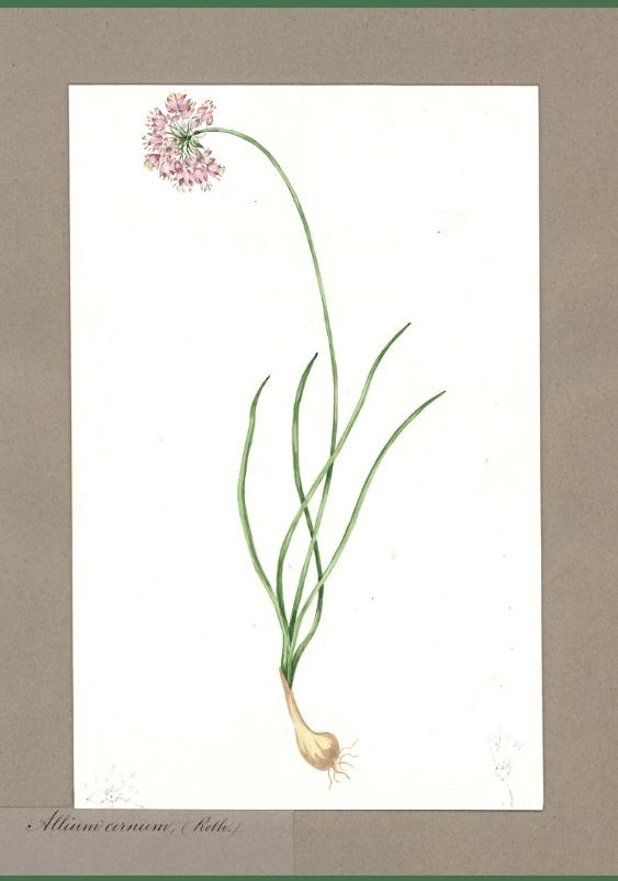 Allium cernum (Roth.)/Nodding onion.