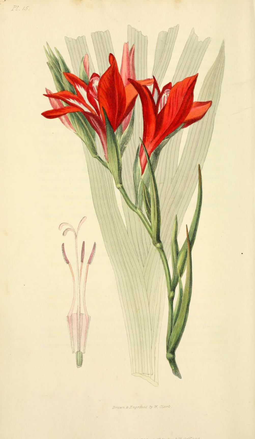 Gladiolus. Page 72.
