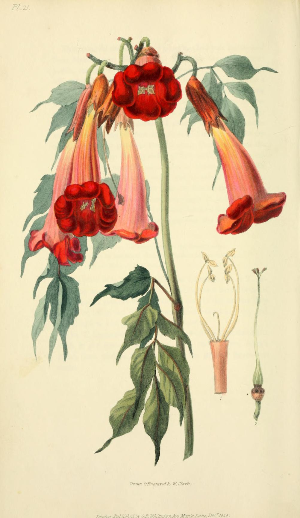 Ash leaved trumpet flower. Page 96.