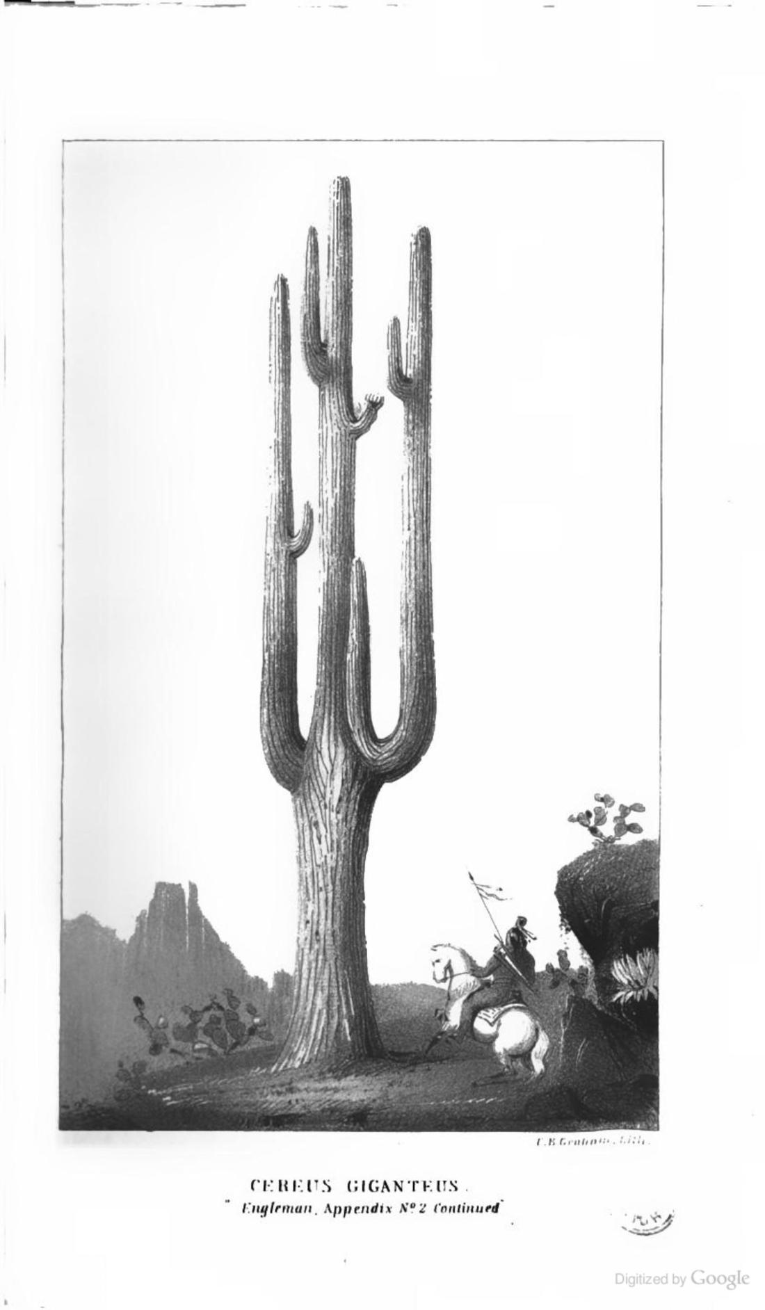 """Cereus Giganteus."" (Engleman, Appendix #2, continued)."