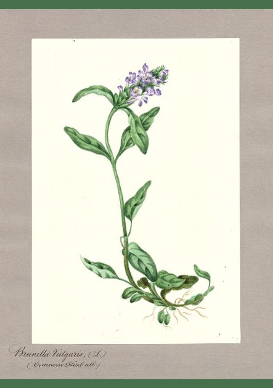 """""""Brunella vulgaris L. (Common Heal-all {Prunella})."""""""