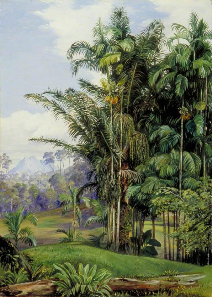 """""""Group of Wild Palms, Sarawak, Borneo."""" 19th c."""