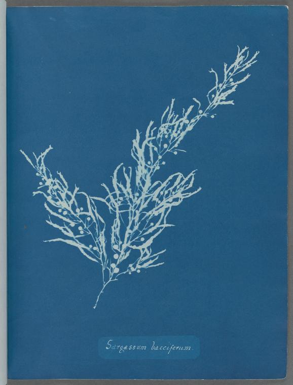 """""""Sargassum bacciferum."""""""