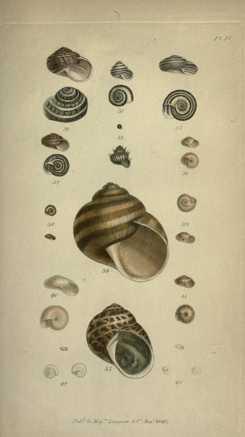Plate IV, figures 30 through 43. Page 333.