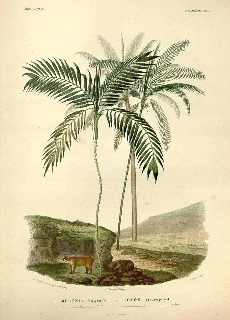 """""""Botanique Palmiers."""" Plate 3."""