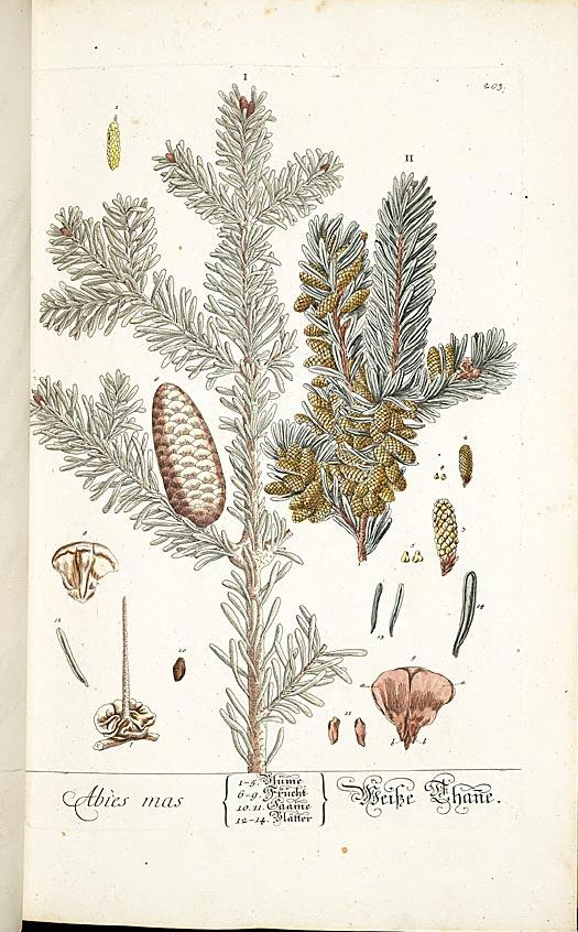 """""""Abies Mas."""" Plate 203. Page 106."""