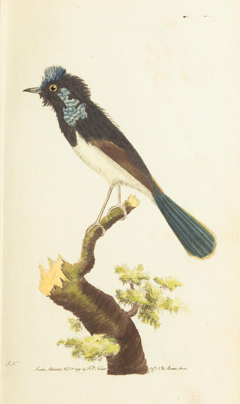 """""""The Superb Warbler."""" Plate 10. Page 65."""
