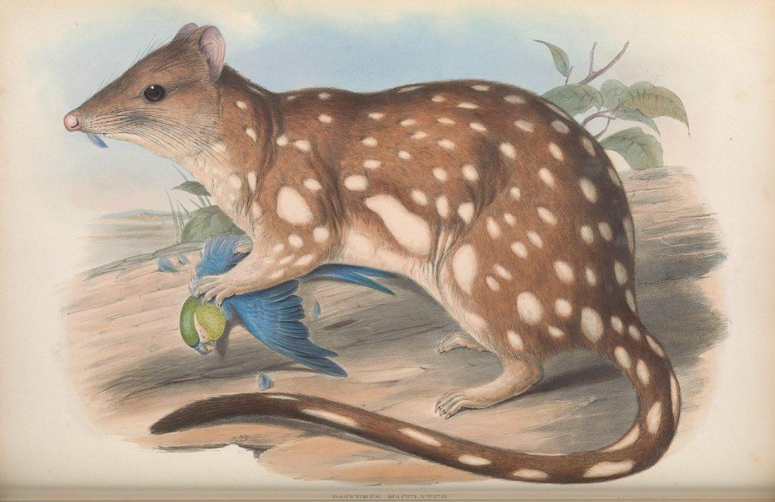 """""""Dasyurus maculatus, Tiger Quoll."""""""