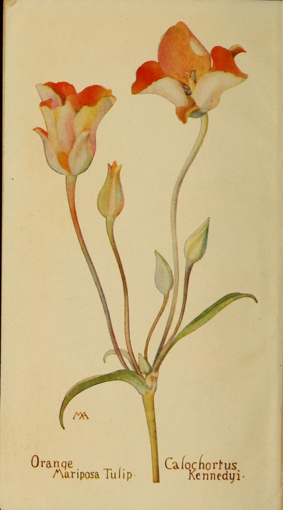 """Orange Mariposa Tulip"" (Calochortis Kennedyi). Frontispiece."