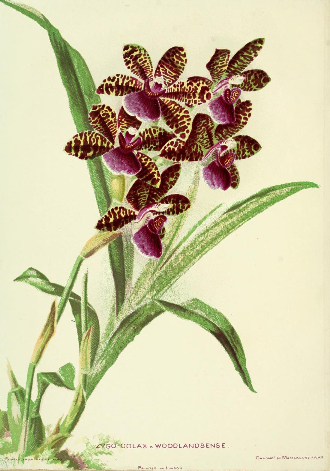 woodlandsorchids00boyl_0010