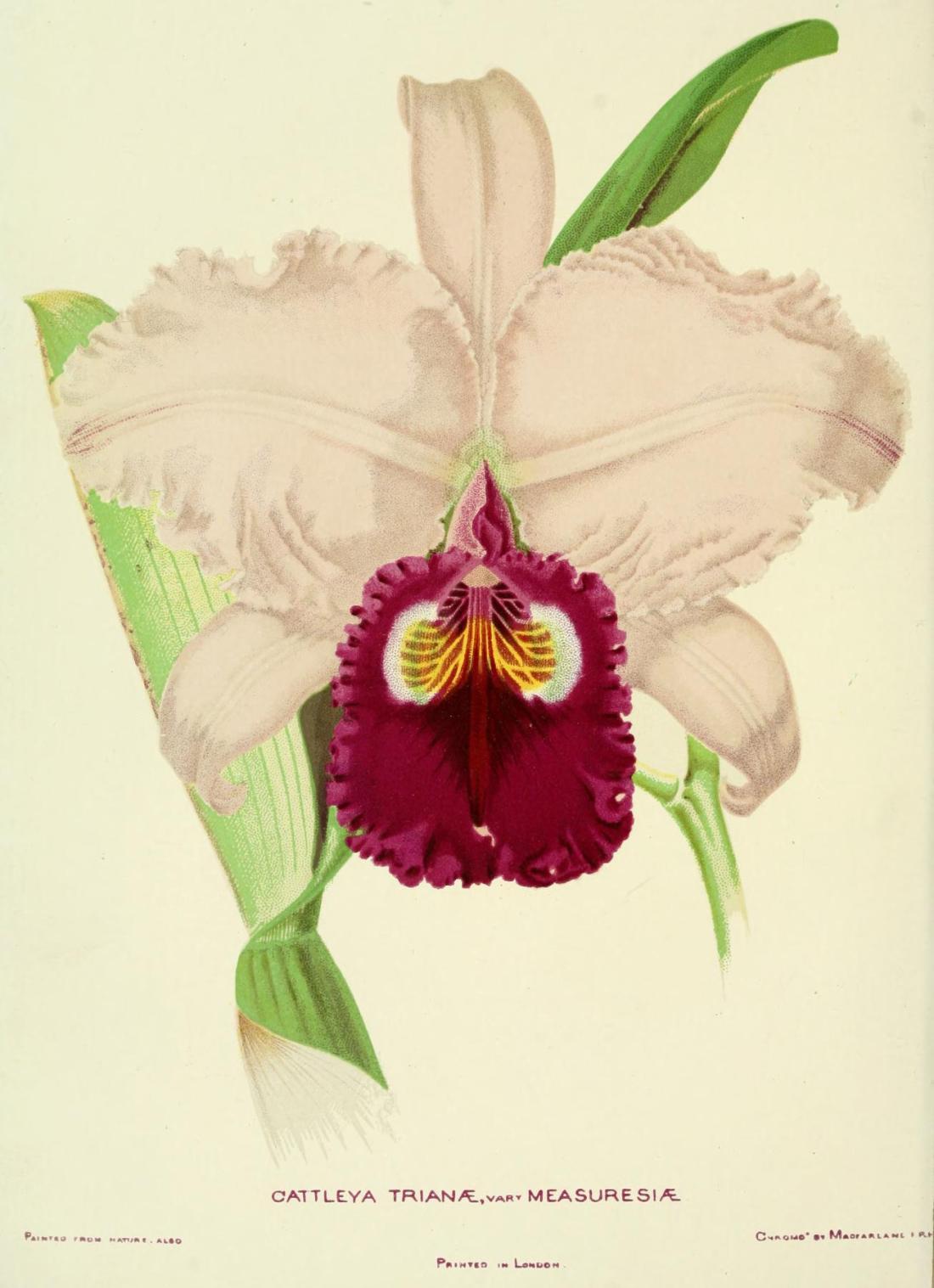 woodlandsorchids00boyl_0060