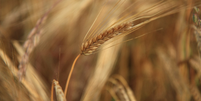 wheat_crop