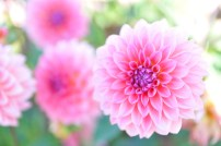 dahlias in canby 2013-16