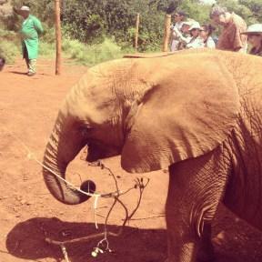 Orphan baby elephant at Sheldrick's, Nairobi
