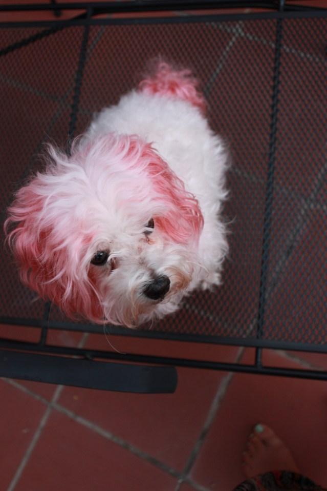 dog hair dye sarah forshaw's