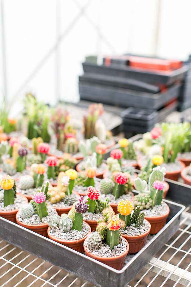 How cute are these cacti?