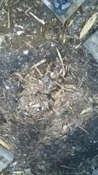 An old hedgehog nest.